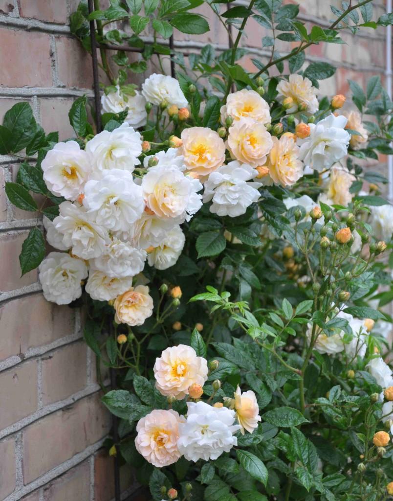 Uppspaljerad mot väggen får rosen stöd och värme.