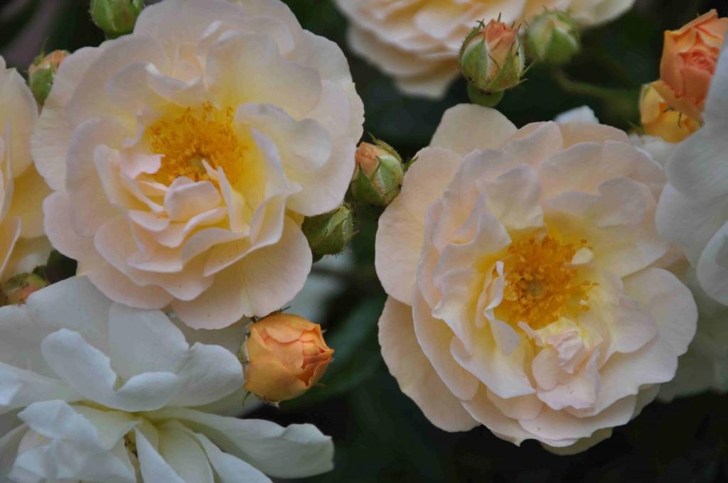 En liten men rikblommande ros med växlande färg.