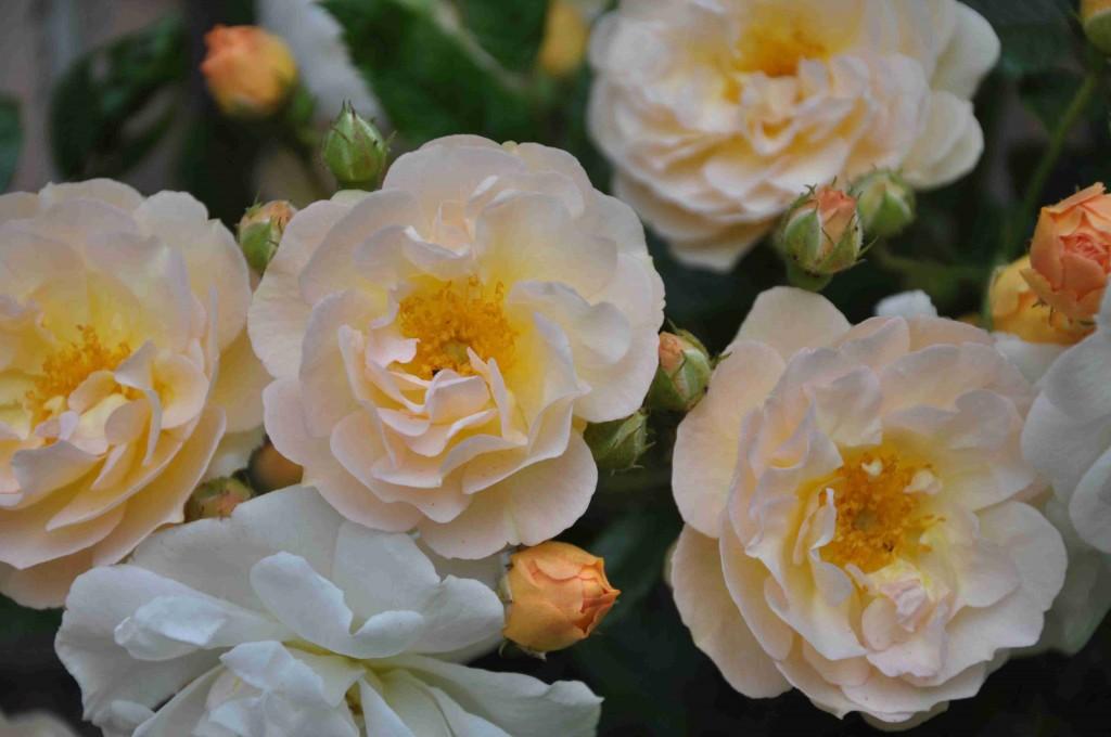 Blomman är liten, grunt skålformad och aprikosgul.