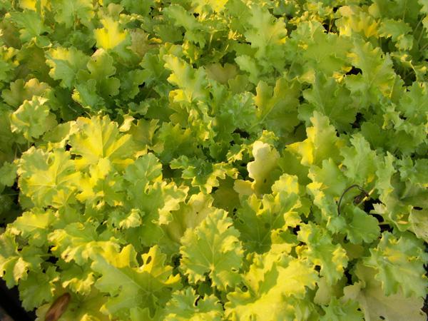 Limegrön variant av alunrot piggar upp bland mörka färger.