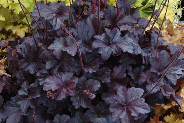 Mörkaste purpurfärg har alunroten Obsidian.