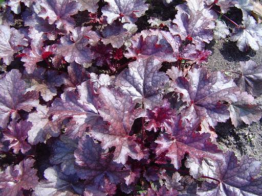 Mörkbladiga sorter av alunrot passar bra ihop med gulgröna bladväxter.