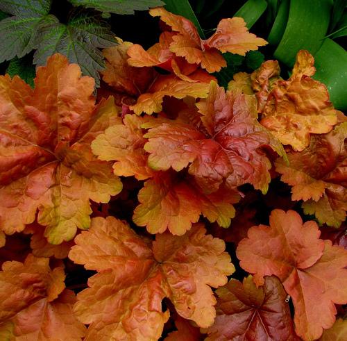 Orangefärgade blad förekommer också hos alunrot.