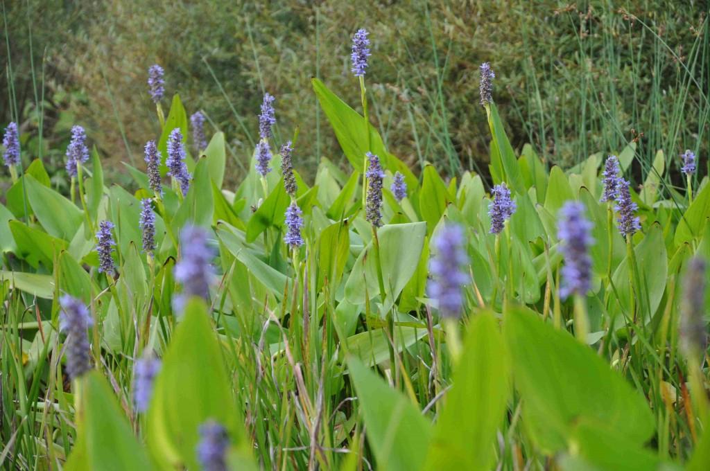 Pontederian tillhör familjen vattenhyacinter.