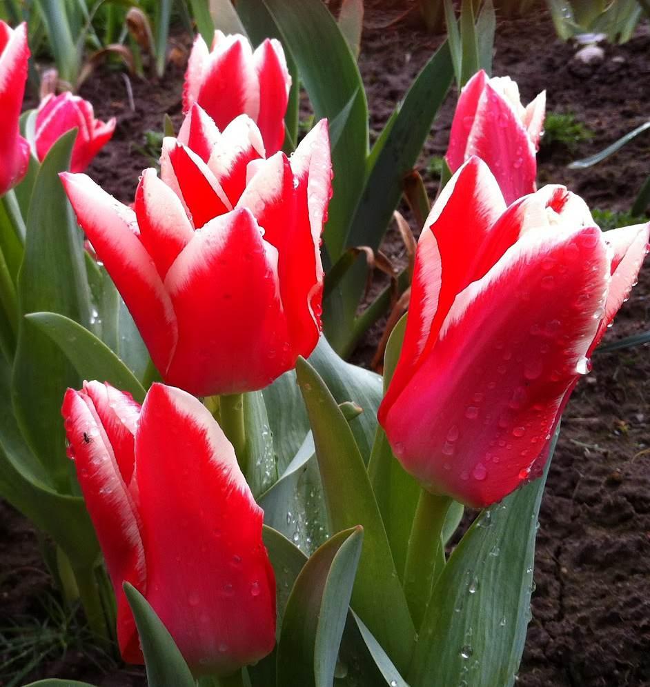 Tulpanen Pirand har intensivt mörkrosa blommor med kanter som doppade i mjölk.