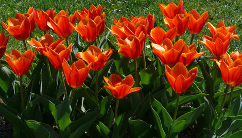 En starkt orangeröd färg har den tidigblommande kaufmannianatulpanen Early Harvest.