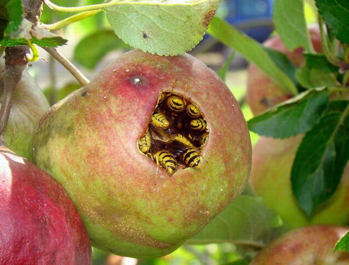 Getingarna har gått hårt åt äpplena i år.
