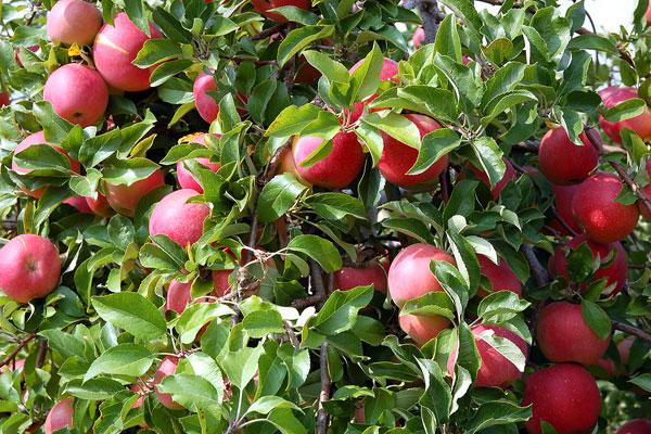 Mognande äpplen på trädet.