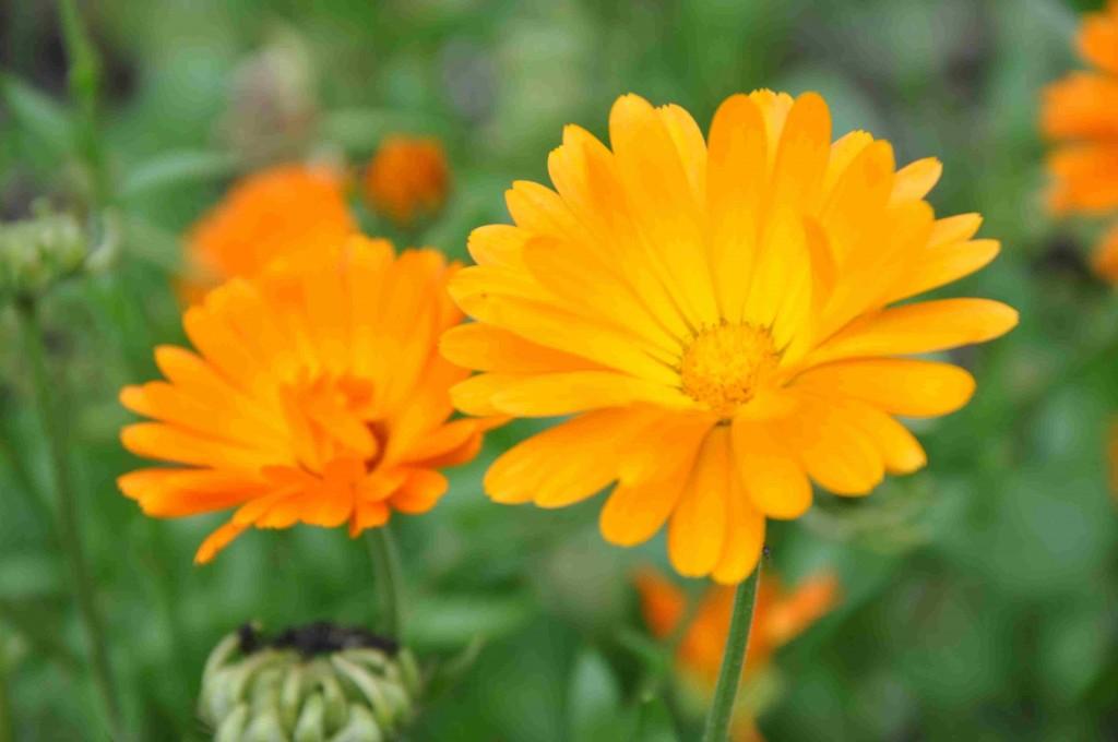 Enkla och dubbla i olika orange nyanser är ringblommorna.