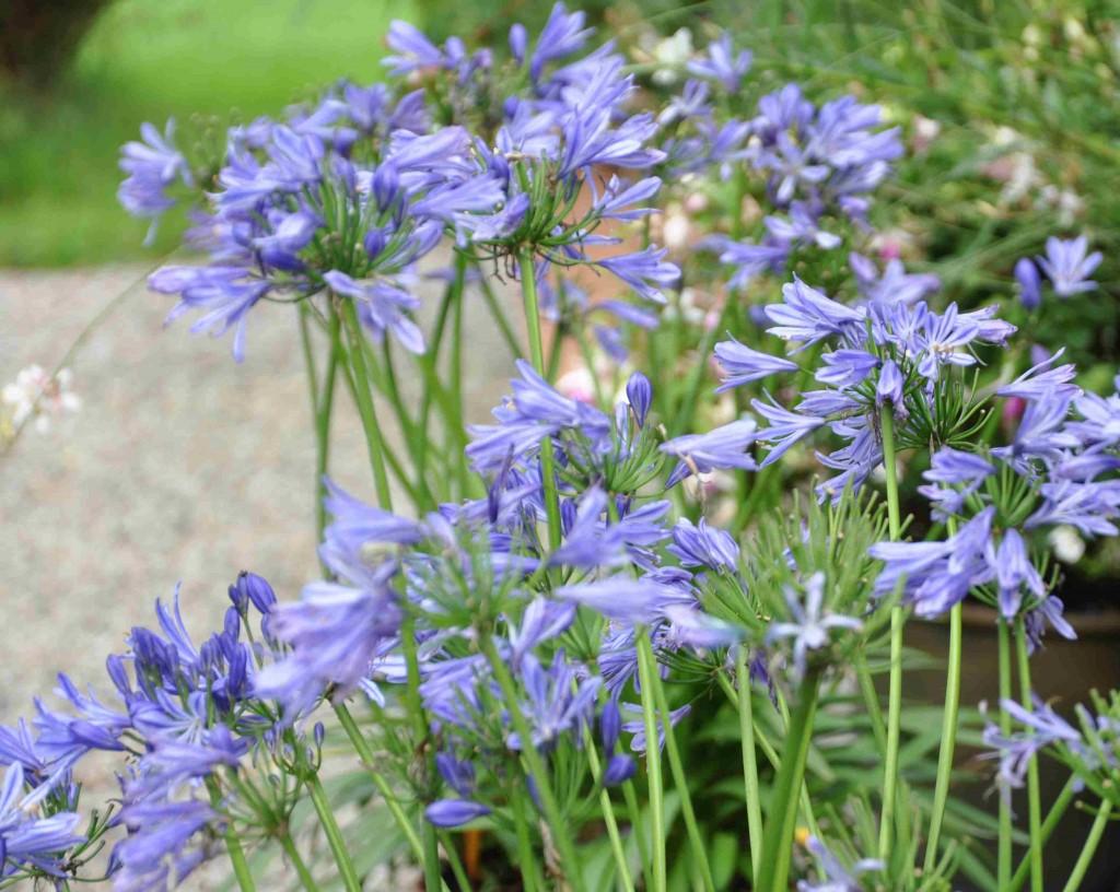 Afrikas blå lilja tål ingen frost, utan måste tas in när nätterna blir svalare.
