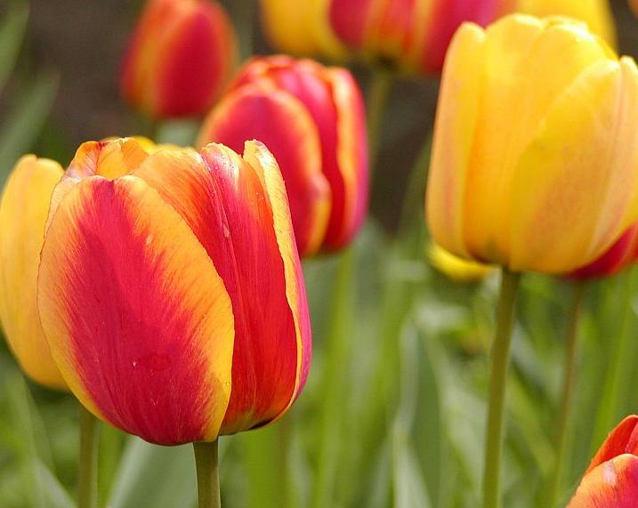 Darwinhybriden Apeldoorn Elite har stora blommor med gula kanter på ett fjäderlikt rött kalkblad.