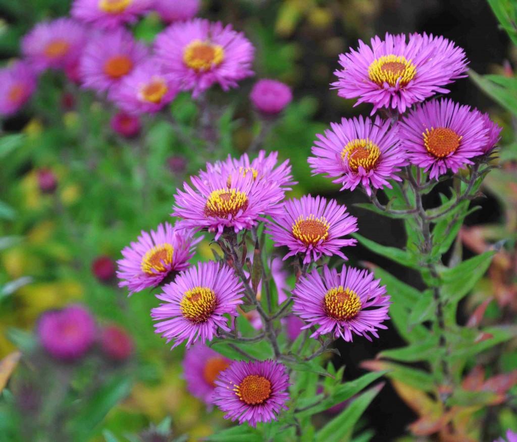 Höstastrarna har ofta starka färger i tonläget lila-blått.