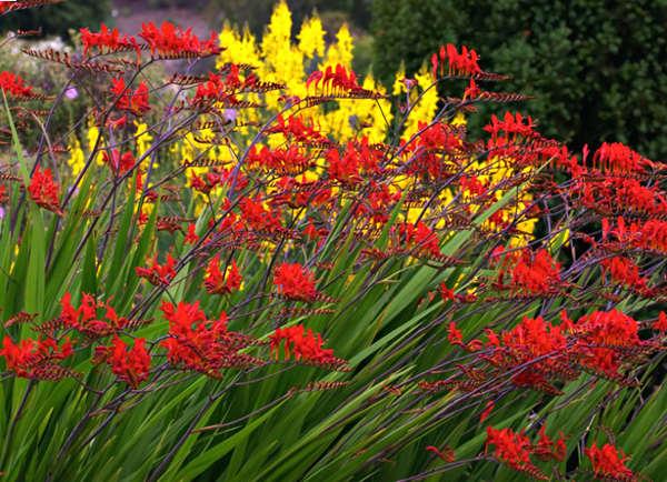 Härligt brandröda montbretian 'Lucifer' är en frostkänslig växt.