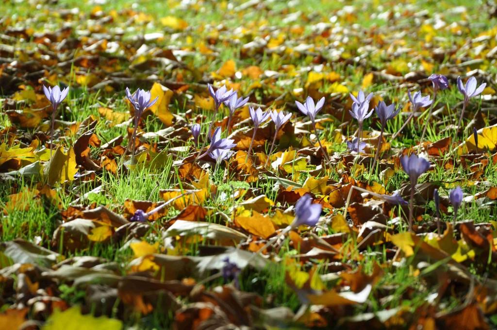Lila höstkrokus tittar upp mellan de fallna löven i gräsmattan.