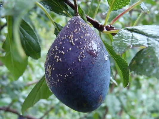 Svampen Monilia fructigena har angripit ett plommon.