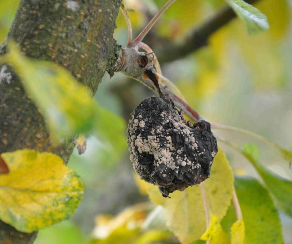 Fruktmögel syns som hopskrumpna äpplen med gulvita mögelklumpar.