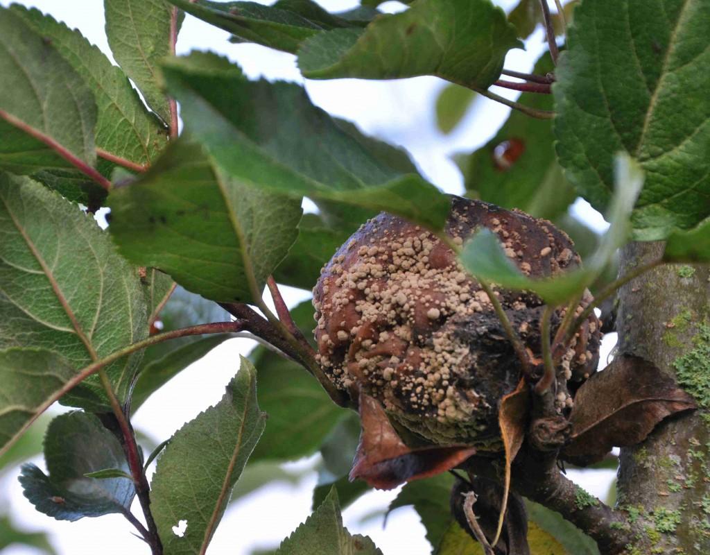 Fruktmögel bildar ringar av gulvita mögelfläckar på äpplen och plommon.