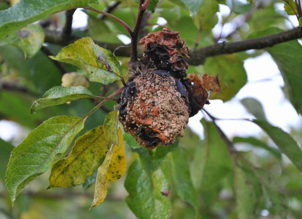 Fruktmögel på äpple och plommon orsakas av svampen Monilia fructigena.