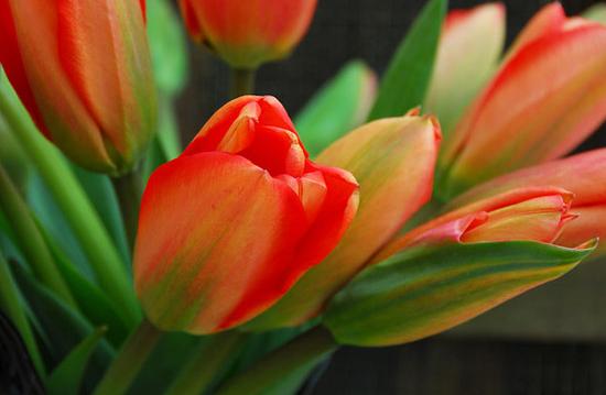 Tulpanen Apeldoorn är den mest kända Darwinhybridtulpanen.