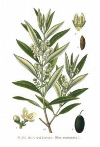 Olivträdet med blommor och småningom frukter.