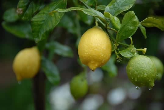 Frukter i olika ålder på samma citronträd.