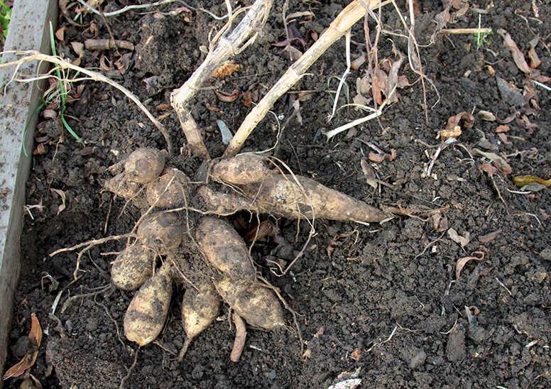 Dahliaknölarna grävs upp när den första frosten tagit blasten.