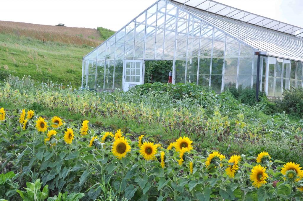 Ett av gårdens stora växthus flankeras av ståtliga solrosor.