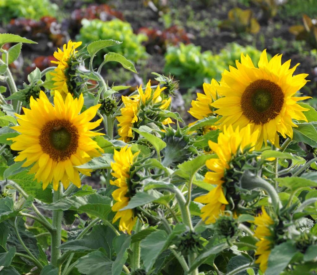 Härliga solrosor i mitten av salladsodlingen är bra jordförbättrare.