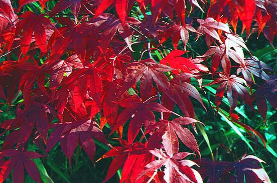 Starkt röda höstfärger hittar du i de japanska lönnarna.