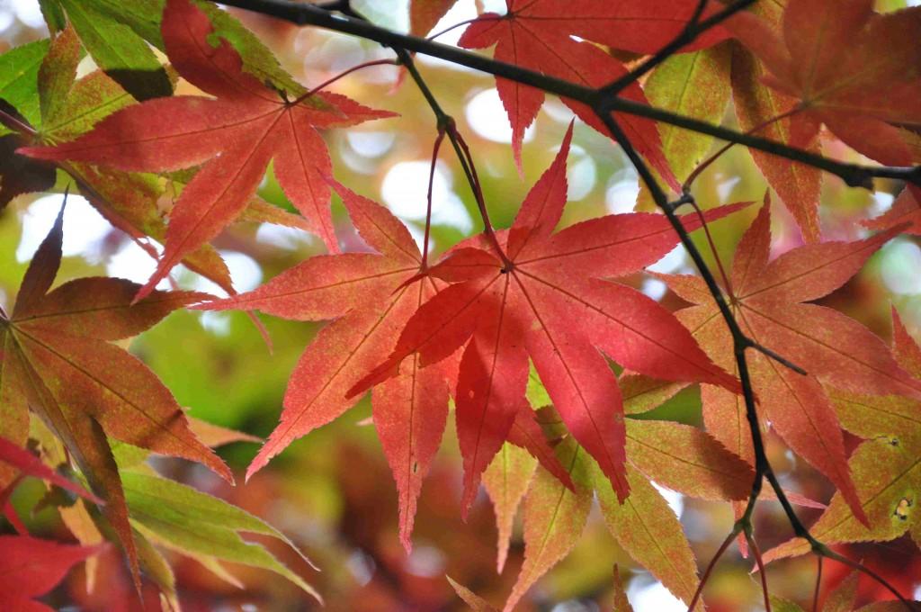 Den japanska dvärglönnen Osakazuki börjar skifta i orange och rött.