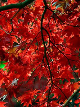 Brinnande röda höstfärger har japanska dvärglönnar.