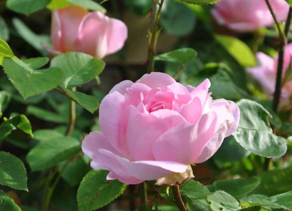 Constance Spry är en skuggtålig ros som inte kräver mycket passning.