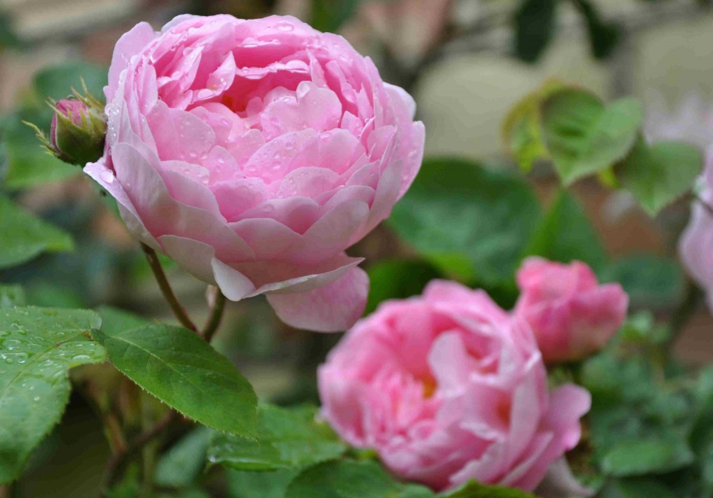 Härliga Austin-rosen Constance Spry doftar av körvel och myrra.