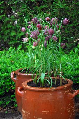 Fritillaria meleagris blir 25-30 cm hög på ranglig stängel.