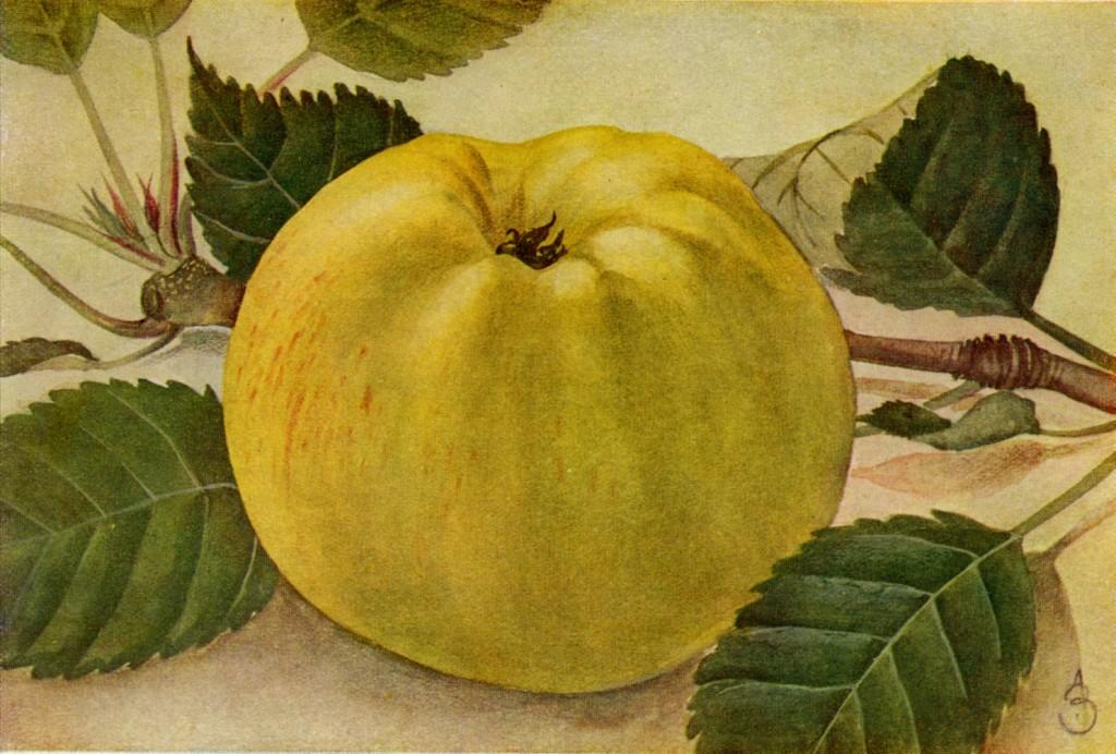 Tecknad bild av sorten Gravensteiner med sina väldoftande äpplen.