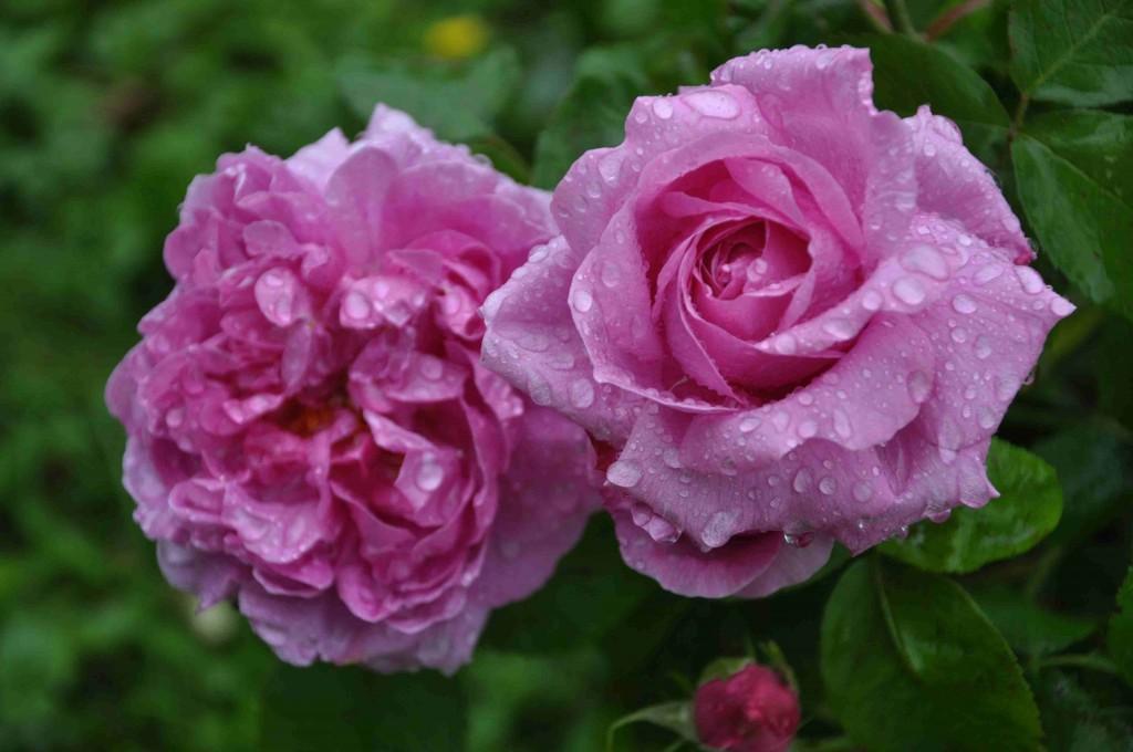 En daggfrisk Mme Boll som blommar på ända in i snöslasket.