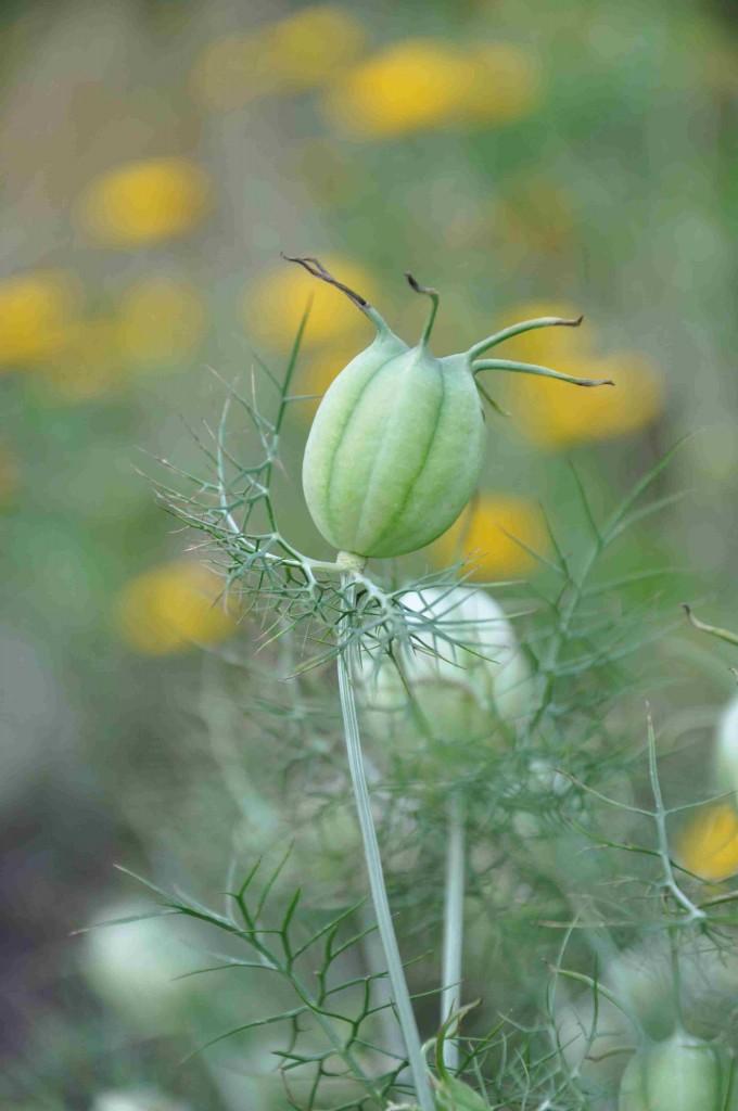 Jungfrun i det gröna har spännande frukter som kan torkas.