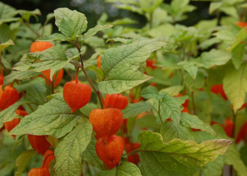 Judekörs kallas även japanska lyktor för de granna foderbladens skull.