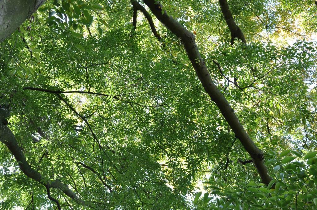 Lövverket hos zelkovan är finmaskigt och elegant.