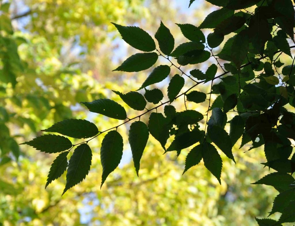 Sammansatta blad längs ett längre bladskaft har zelkova.