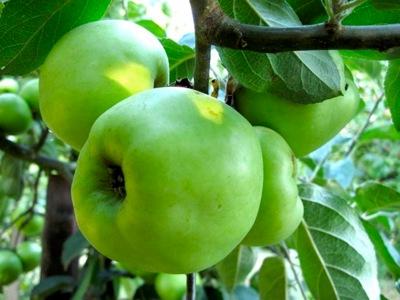 Gravensteiner har lite buckliga frukter med åsar uppifrån och ner.