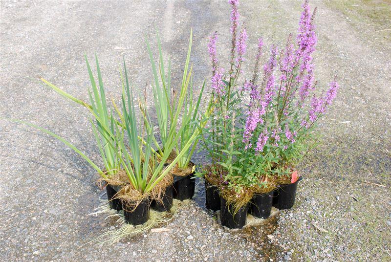 Den flytande våtmarksön planteras med växter som bidrar till en effektiv vattenrening.