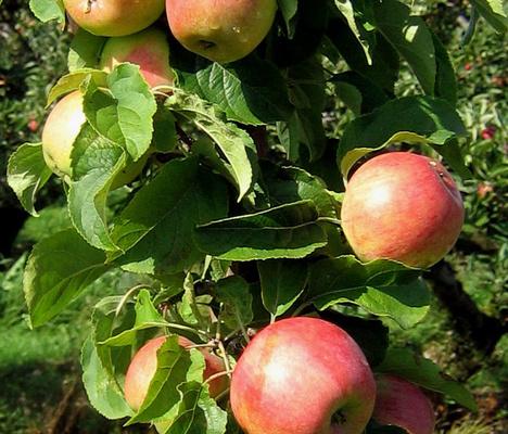 Fredrik är en ny äpplesort som påminner mycket om Aroma i smaken.