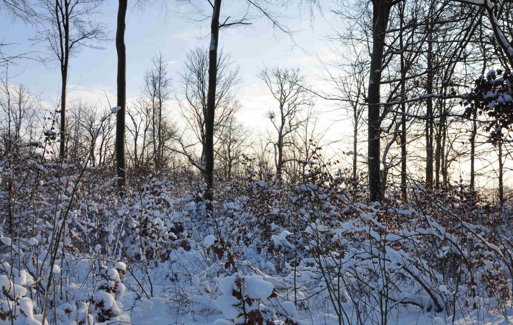 Den unga bokskogen i snöskrud gömmer kanske svampangrepp av phytophtora.