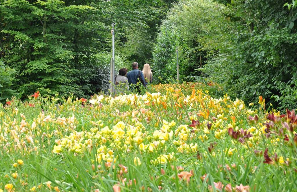 En helt osannolik plantering av dagliljor i den holländska trädgården Appeltern.