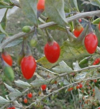 Gojibären är orangeröda och sprängfyllda med nyttiga vitaminer och antioxidanter.