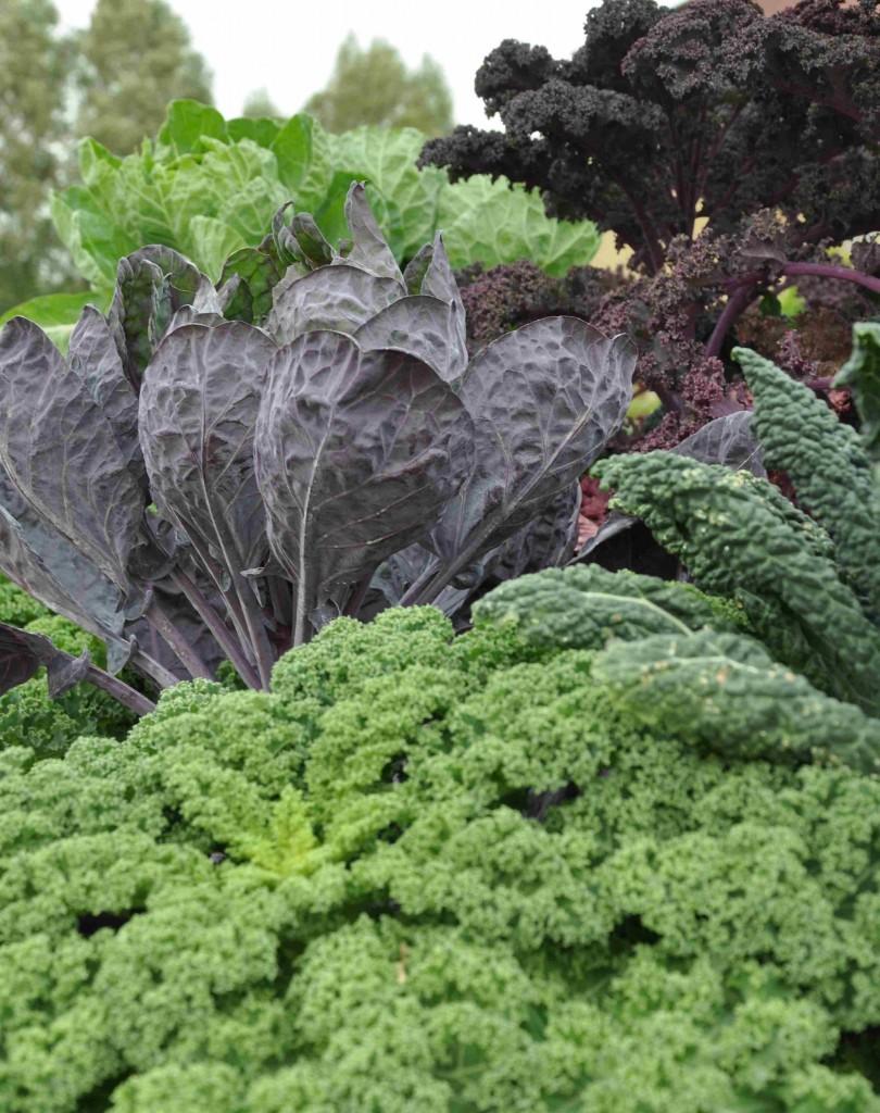 Kål är en mångsidig grönsak som räddar matlagningen under hösten och vintern.