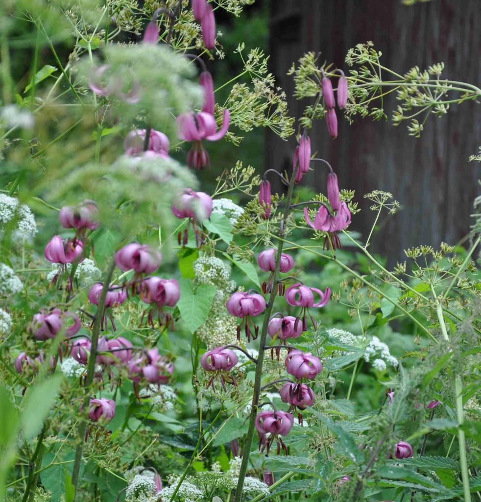 Rosablommande krollilja i naturlig miljö i halvfuktig lundskog.