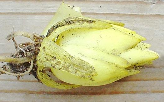 Färsk knöl från krollilja har ljust limegröna lökfjäll.