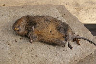En vattensork är stor och har lång svans som en råtta.